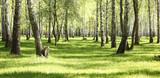 Green grass in birch grove in morning in early summer