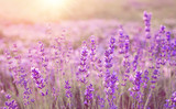 Fototapety Beautiful image of lavender field over summer sunset landscape.