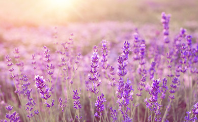 Fototapeta piękny obraz pola lawendy nad letnich słońca krajobrazu.