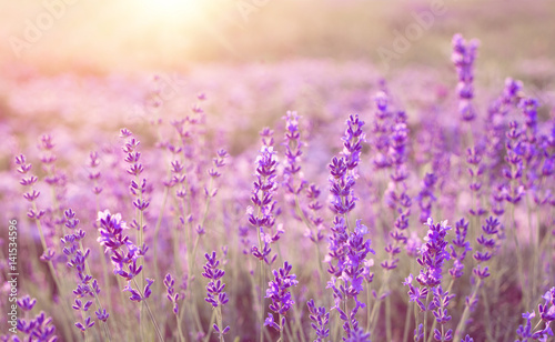 Beautiful image of lavender field over summer sunset landscape. - 141534596