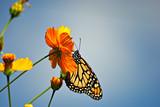 Beautiful Monarch butterfly on an orange flower