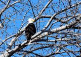 Bald Eagle - Strike a pose