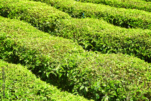 Green rows of bushes on tea plantation. Fresh tea leaves