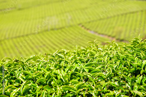 Amazing young upper fresh bright green tea leaves