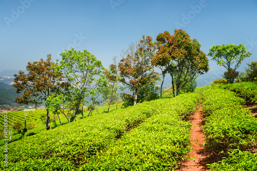 Colorful trees and amazing rows of bright green tea bushes