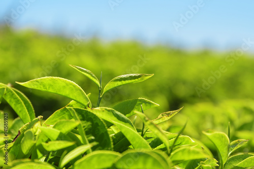 Closeup view of scenic young bright green tea leaves