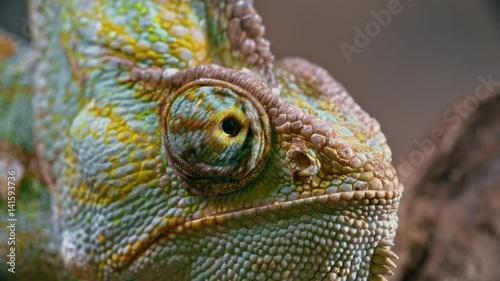 Macro of chameleon looking around with its unique swiveling eye