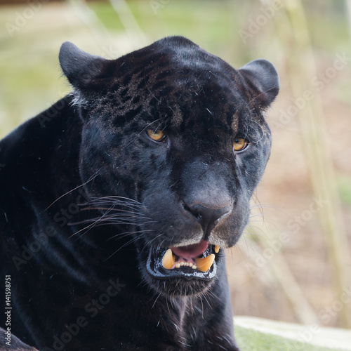 Foto op Aluminium Panter Black leopard, panther, head