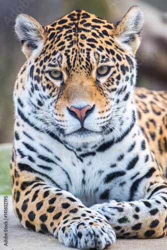 Foto op Plexiglas Panter Leopard, panther, Panthera pardus