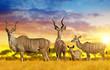 Herd of Greater kudu on the savannah at sunset.