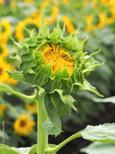 Close Up Of Yellow Sunflower Bud About To Blossom In The Field