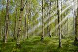 Sonnenstrahlen im Birkenwald