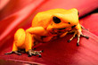 Poison dart frog, Phyllobates terribilis. Deadly animal from the tropical Amazon rain forest in Colombia. One of the most poisonous animals inthe world. Macro of a yellow amphibian.