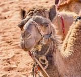 Camel Valley of Moon Wadi Rum Jordan