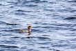 Common Mergansers taking off floating on water
