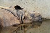 Nashorn - Rhinozeros - Indisches Panzernashorn
