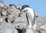 Very shy Adelie Penguin at Yalur Island in Antarctica.