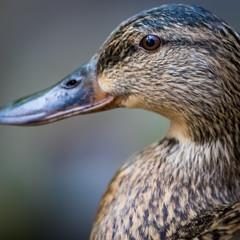 Brown duck portrait close up
