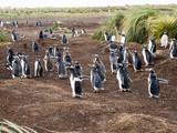 Gentoo penguin, Pygoscelis Papua, on the island nesting Carcas, Falkland