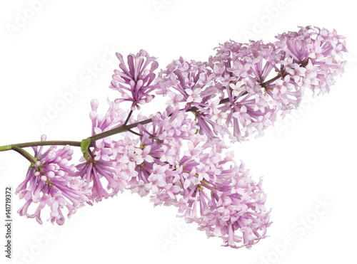 isolated light pink lush lilac inflorescence