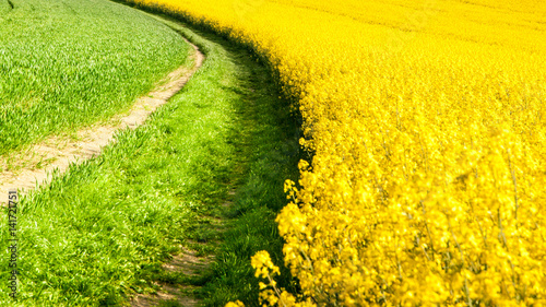 Fotobehang Oranje Field of rapeseed, aka canola or colza. Rural landscape with country road. Spring and green energy theme, Czech Republic, Europe.