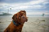 Dogue de Bordeaux at beach with surfer in background