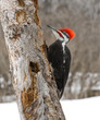 Male Pileated Woodpecker in Winter