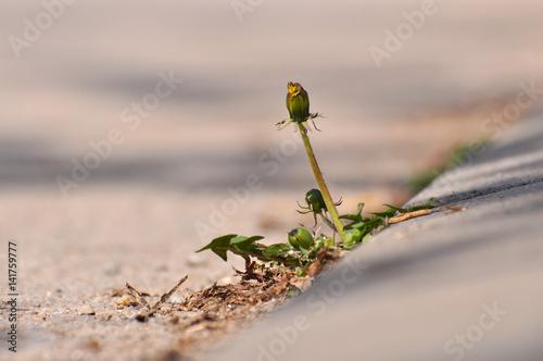 Dandelion flower growing between asphalt and curbs Poster