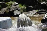 Planschender Eisbär