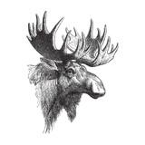 Moose or Eurasian elk (Alces alces) / vintage illustration