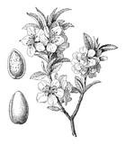Almond (Prunus dulcis) / vintage illustration  - 141764786