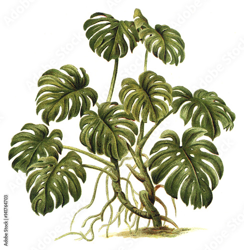 Tropical plant - Philodendron pertusum / Vintage illustration - 141764703