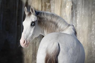 Beautiful grey horse look back on light background isolated