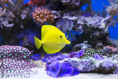 Yellow tang fish in aquarium Poster