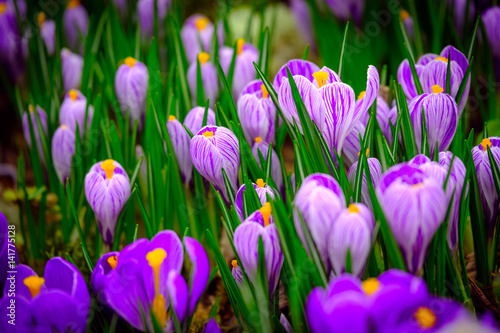 Blooming crocus flowers close up