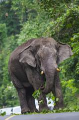 Elephant feeding and walking on the road at Khao Yai National Park, Thailand