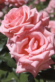 Rosa x / Rose 'Cosima' - 141782573