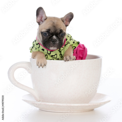 female puppy in a teacup