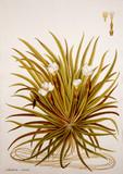 Illustration botanique / Stratiotes aloides / Ananas d'eau / Aloès d'eau - 141798533