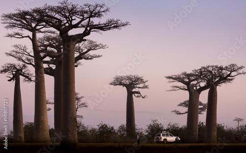 Poster Baobab Madagascar, Africa, Land of the Baobab trees