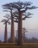 Madagascar, Africa, Land of the Baobab trees