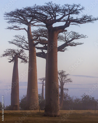 Papiers peints Baobab Madagascar, Africa, Land of the Baobab trees