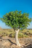 Fuerteventura, grüner Baum, blauer Himmel und Blick auf den Atlantik