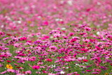 Pink flower meadows,Cosmos flower meadows,cosmos,background.
