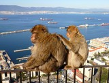 Two Barbary macaques in Gibraltar