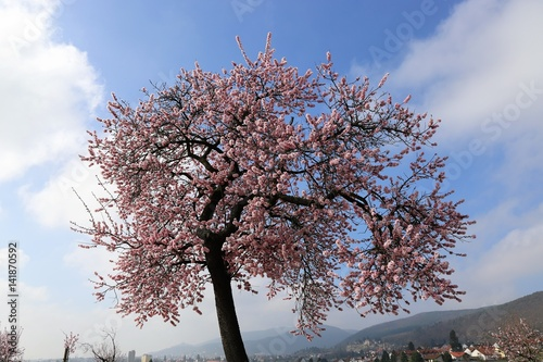 Poster Mandelblüte in Gimmeldingen, Pfalz