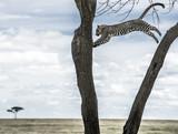 Leopard jumping between trees in Serengeti National Park