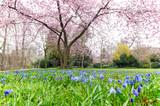 Frühlingserwachen im Stadtpark: Glückwunsch, alles Liebe: Verträumte Kirschblüten und blühende Frühlingsblumenwiese :)