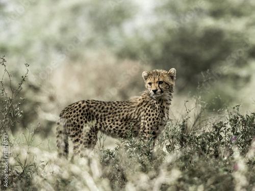 Poster Cub cheetah in Serengeti National Park