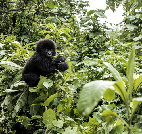 Poster Young mountain gorilla in the Virunga National Park, Africa, DRC, Central Africa